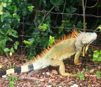 Iguana2_opt