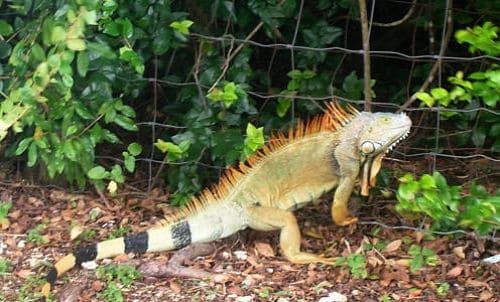 Iguana Kit